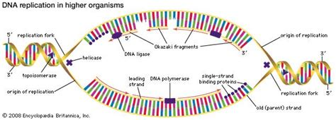 okazaki fragment dna polymerase dna encyclopedia