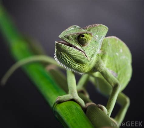 types of chameleons what are the different types of chameleon habitats