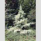 weeping-blue-atlas-cedar-bonsai