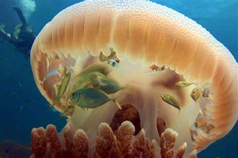 jellyfish bodyguard allways dive