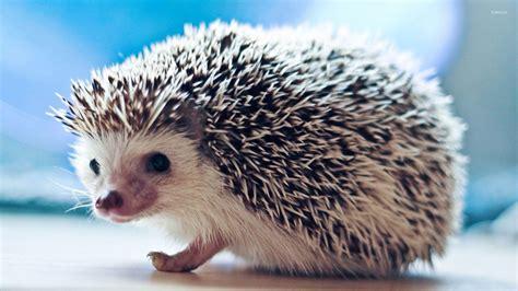 Cute Hedgehog Wallpaper Animal Wallpapers 27186 HD Wallpapers Download Free Images Wallpaper [1000image.com]