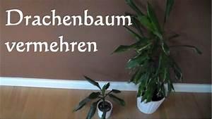 Drachenbaum Schneiden Video : drachenbaum vermehren stecklinge dracaena marginata ~ Watch28wear.com Haus und Dekorationen