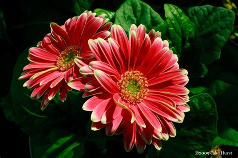 gerber daisies gerber daisy s grow your own subjects designerfied com