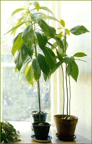 plante exotique int 233 rieur arbre tropical mesurant jusqu