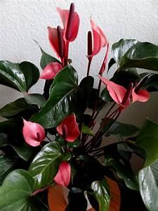 Zimmerpflanzen Pflege Tipps : zimmerpflanzen online strahlenaralie schefflera ~ Lizthompson.info Haus und Dekorationen