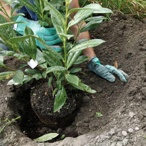 kirschlorbeer im herbst pflanzen kirschlorbeer pflanzen und pflegen mein sch 246 ner garten