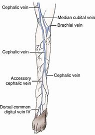 best cephalic vein ideas and images on bing find what you ll love
