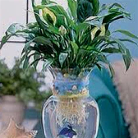 studyrankcom peace lily  water withbeta fish