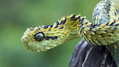 serpente volante i serpenti pi 249 strani mondo