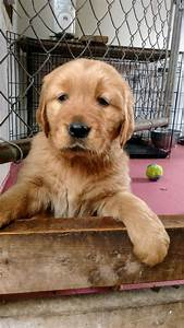 golden retriever puppies for sale collier county fl 290436