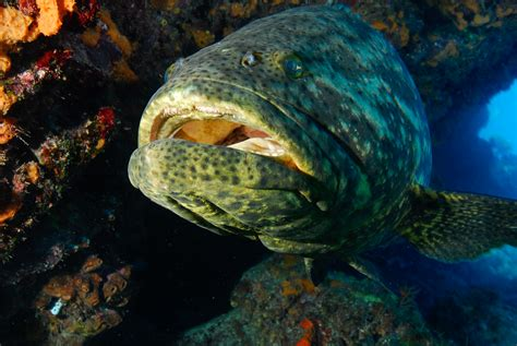 grouper shark eats goliath meal national slurps typical down geographic