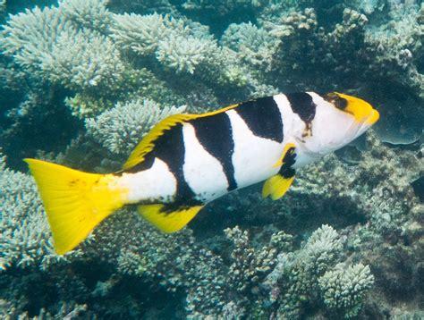 grouper coral saddle chagos