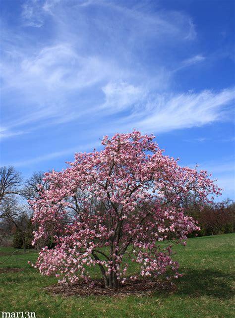 leonard messel magnolia magnolia  loebneri leonard