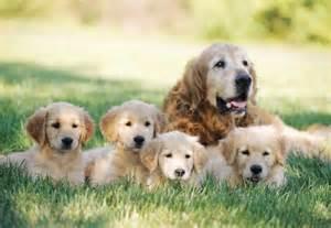 Durée De Vie Golden Retriever by Le Fox Terrier