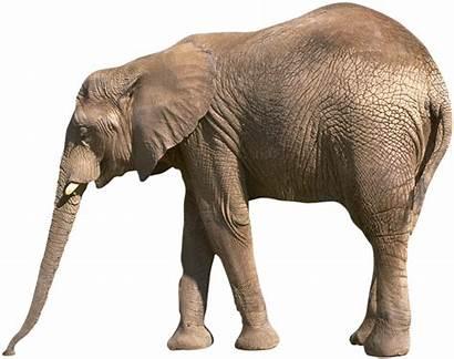 Elephant Transparent African Elefante Elephants Animal Elefanti