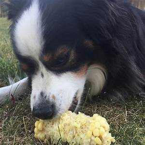dogs eating corn