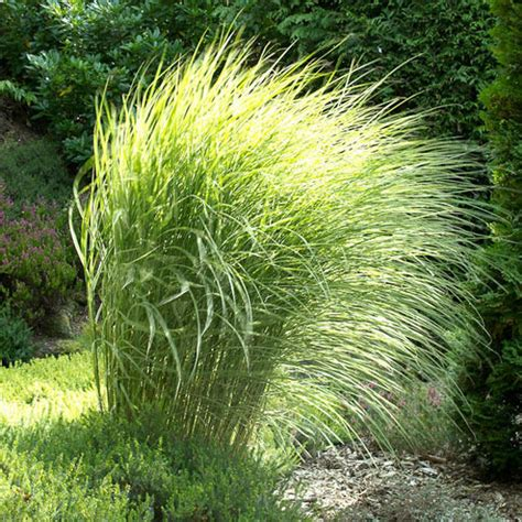 morning light grass maiden grass morning light size 1 gallon live