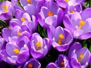 Wann Blühen Krokusse : fr hbl her in w ldern g rten welche gibt es wann bl hen sie ~ Eleganceandgraceweddings.com Haus und Dekorationen