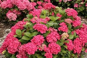 Hydrangea Macrophylla Winterhart : abbildung und beschreibung von hydrangea macrophylla ~ Michelbontemps.com Haus und Dekorationen