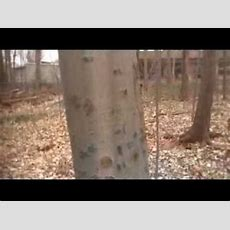 How To Identify Common North American Trees Through Their Bark Youtube
