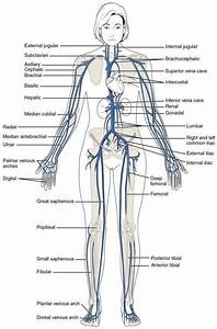 Anatomy Of Blood Vessels In The Body