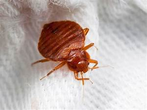 how our modern lives became infested with bed bugs With bed bugs minnesota