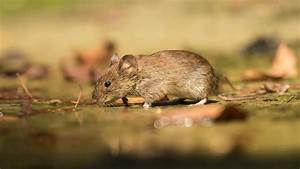 Animals, Rodent, Mouse, In, Quest, On, Food, Desktop, Hd