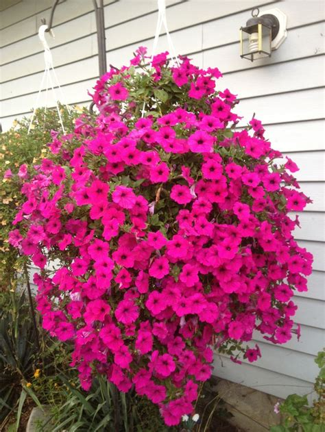 wave petunias in pots gotta love this wave petunia basket outdoor hanging baskets and pot