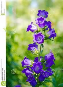 Blue Bell Shaped Purple Flowers