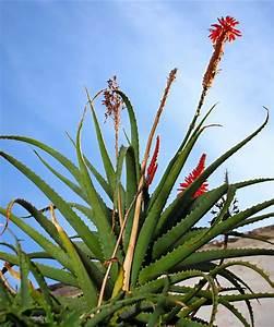 Comment Entretenir Un Cactus : aloe vera plante entretien culture en pot ~ Nature-et-papiers.com Idées de Décoration