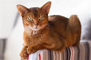 10 Most Beautiful Cat Breeds in the World - Tail and Fur