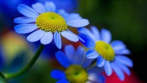 Blue Yellow Flowers Petals Nature Hd Wallpaper Download ...