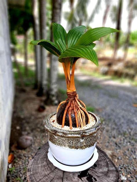 มะพร้าวบอนไซ phuket | Ideas de jardinería, Jardinería