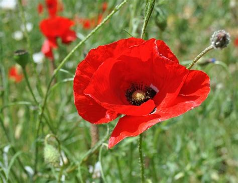 Lost In The Pond A Brief History Of The Remembrance Poppy