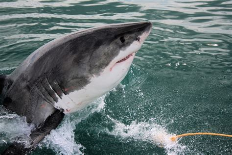 50 Cool Facts About Great White Sharks  Welcome To