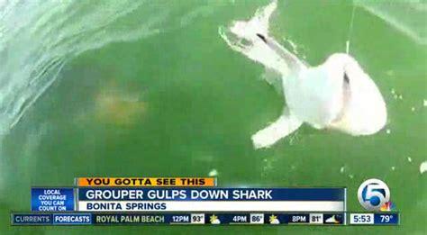 grouper shark eats fisherman eating bite
