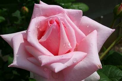 Rose Pink Roses Fanpop Flowers Flower Rosas