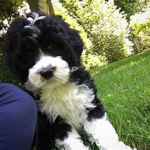 Pronto Hulahoop Dave Portuguese Water Dog Cute puppy WWW ...