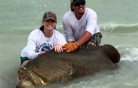 grouper goliath florida fishing giant shore regulations outdoorhub