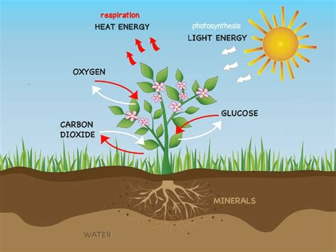 Diagram Of Water Flower by Photosynthesis And Respiration In Plants