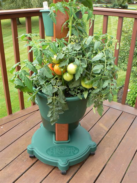 growing tomatoes in containers my garden post