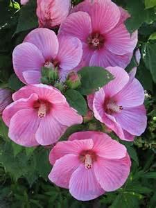 Hollyhocks Flowers Garden