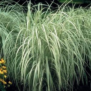 Miscanthus Sinensis Variegatus : variegated japanese silver grass finegardening ~ Eleganceandgraceweddings.com Haus und Dekorationen