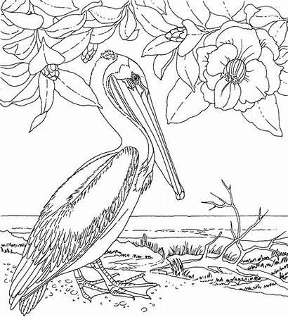 Pelican Coloring Animals Wildlife