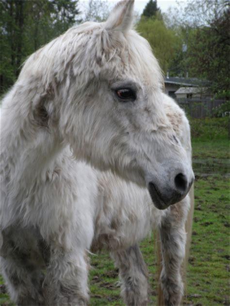 cushings disease  horses explained