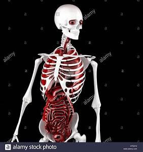 Les Droits De L U0026 39 Homme Anatomie  Le Squelette Et Les