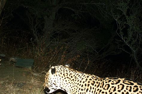 Jaguars Moving by Extremely Jaguars Are Moving Deeper Into Us Territory