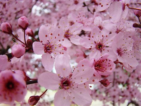 trees with pink blossoms fine art prints spring pink blossoms trees canvas baslee troutman photograph by baslee troutman