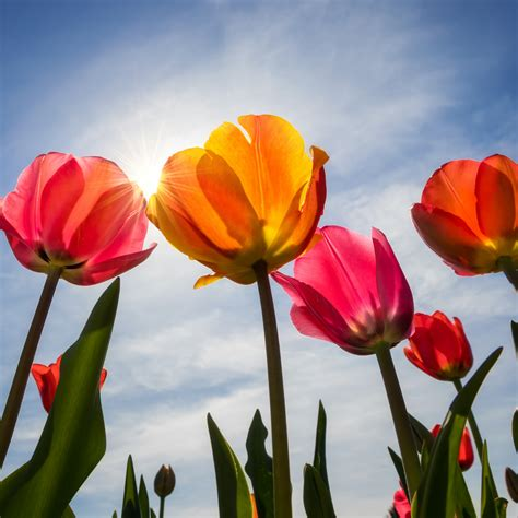wallpaper tulips bloom sunny day spring  flowers