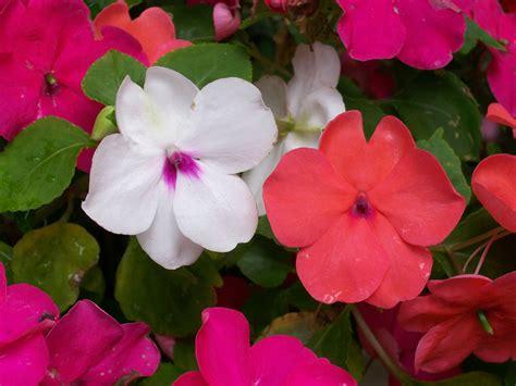 winter bloemen australie impatiens how to plant grow and care for impatiens